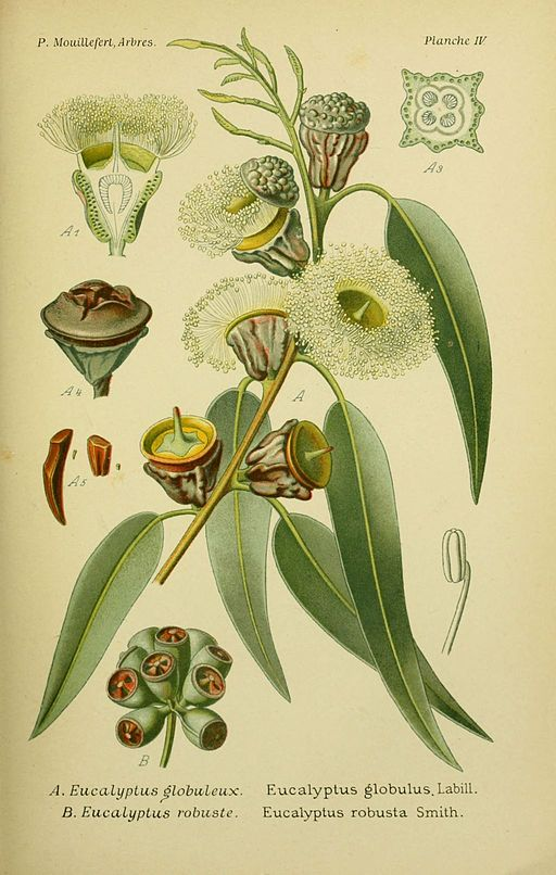 Tasmanian Blue Gum botanical drawing