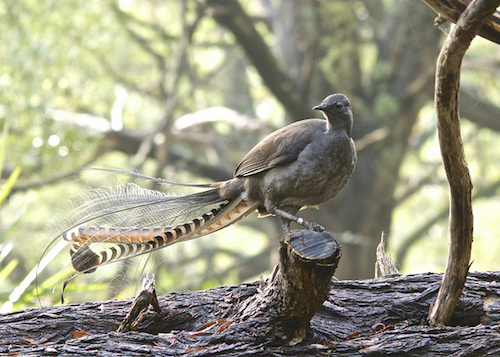 Mt Field superb lyrebird Brian Ralphs Flickr