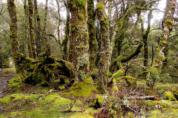 Old and mossy Myrtle-beech trees. Overland track Tasmania Tatters Flickr